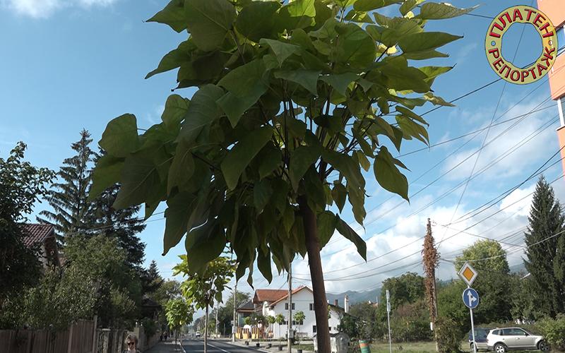 Платен репортаж: Засадиха първото ново дърво в Златица