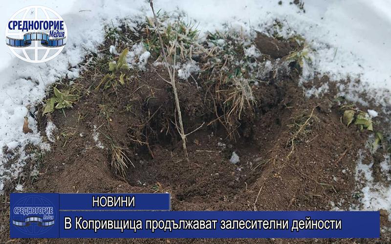 В Копривщица продължават залесителни дейности